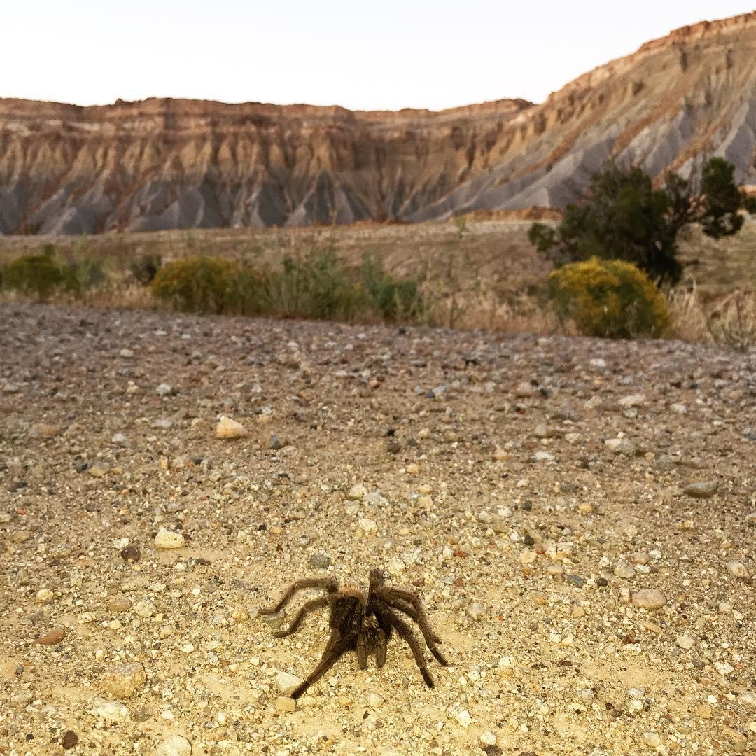 Tarantula in front of tarantula mesa