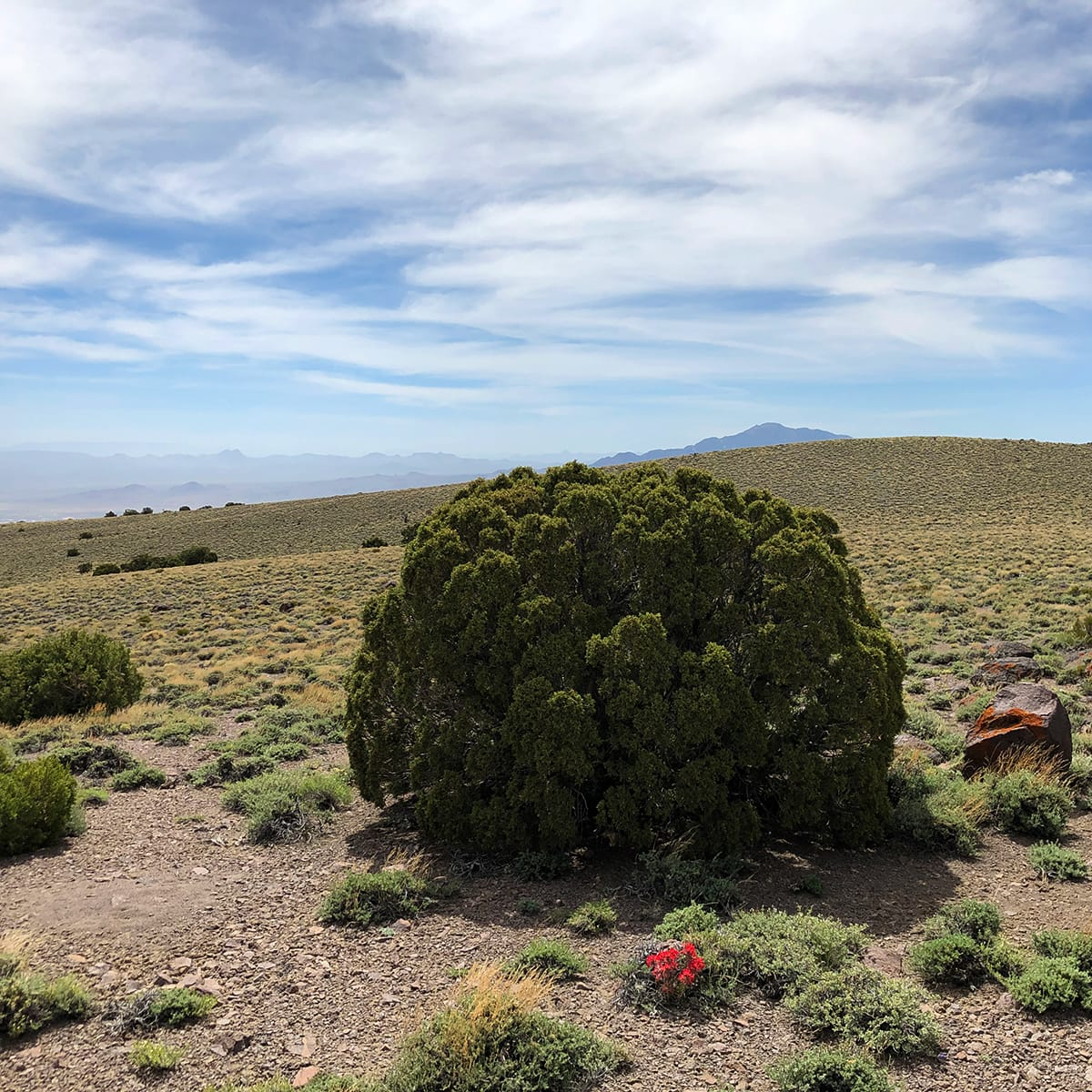 A very round juniper on top of a 8000-ft mountain
