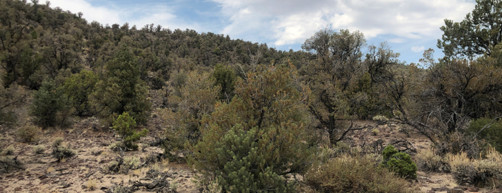 wild pinyon pines dying of scale